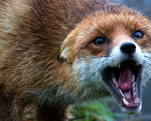 Рядом с птицефабрикой в Ярославской области поймали бешеную лису