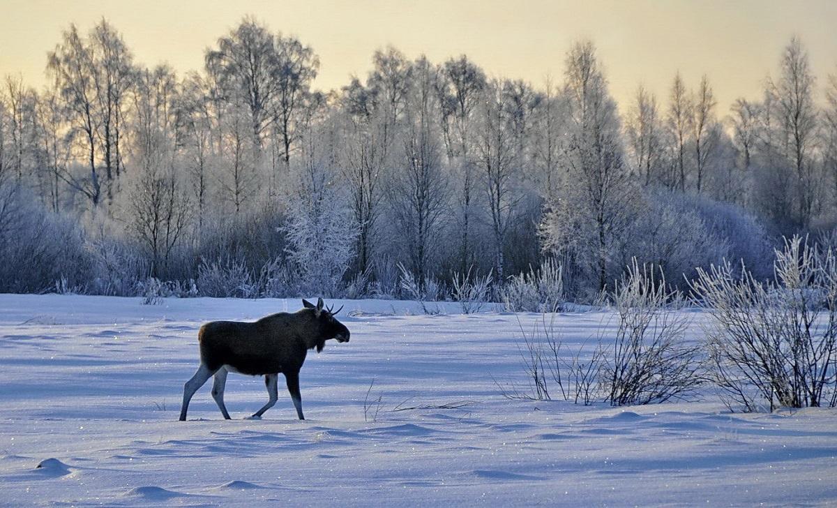 В Ярославской области идет перепись зимних обитателей леса