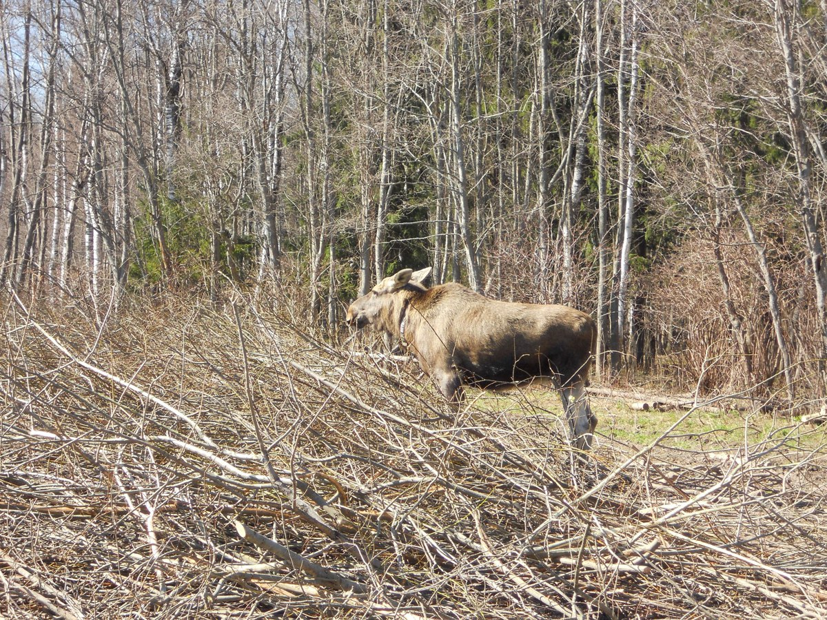 В лесу Ярославской области обнаружили 13 шкур лосей