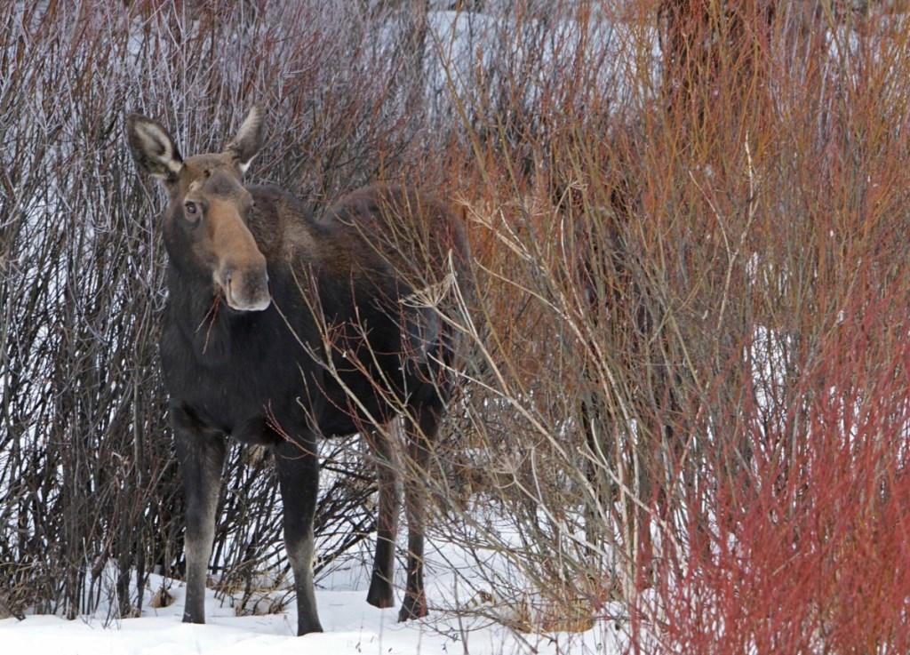 В Ярославской области завершается сезон охоты на лосей