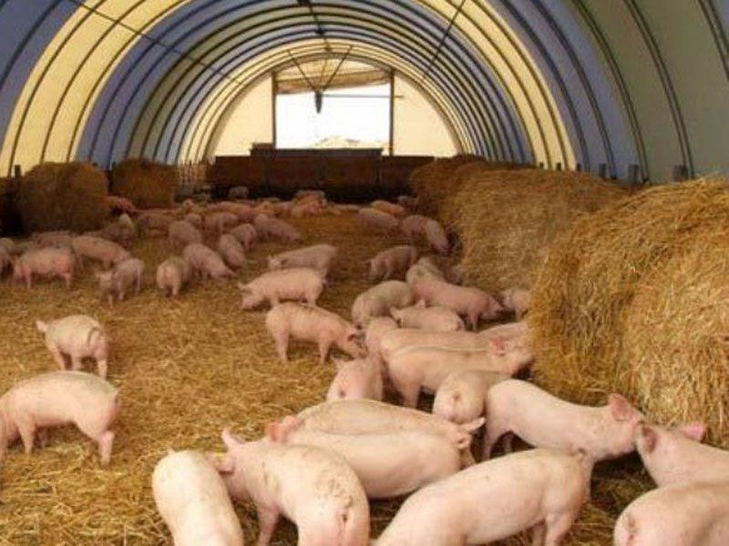 Житель Ярославской области похитил свиней и застрелил их