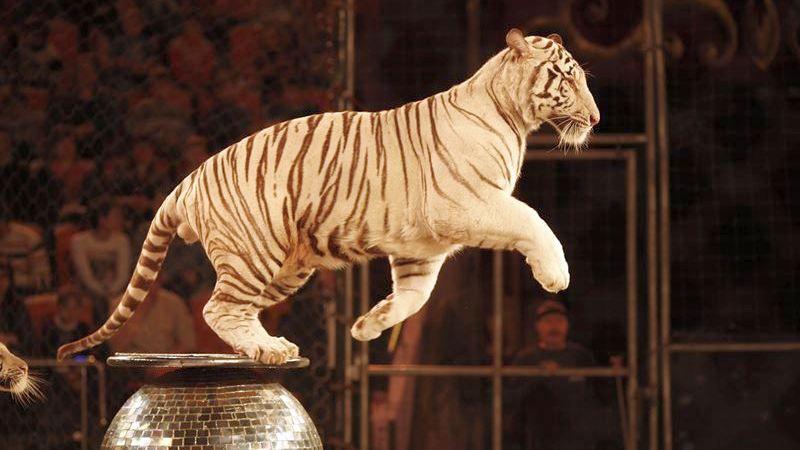 В Ярославле покажут шоу белых тигров