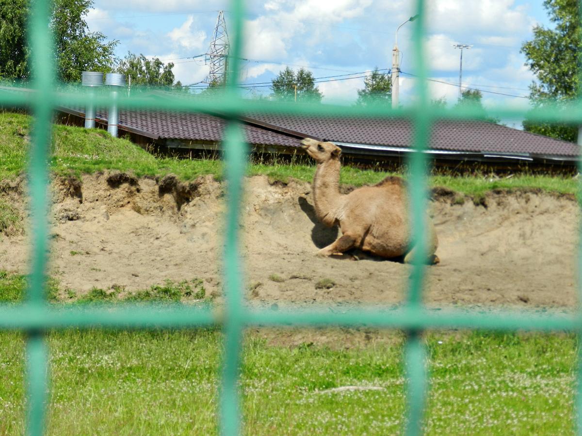 Ярославский зоопарк передал Костроме молодую верблюдицу