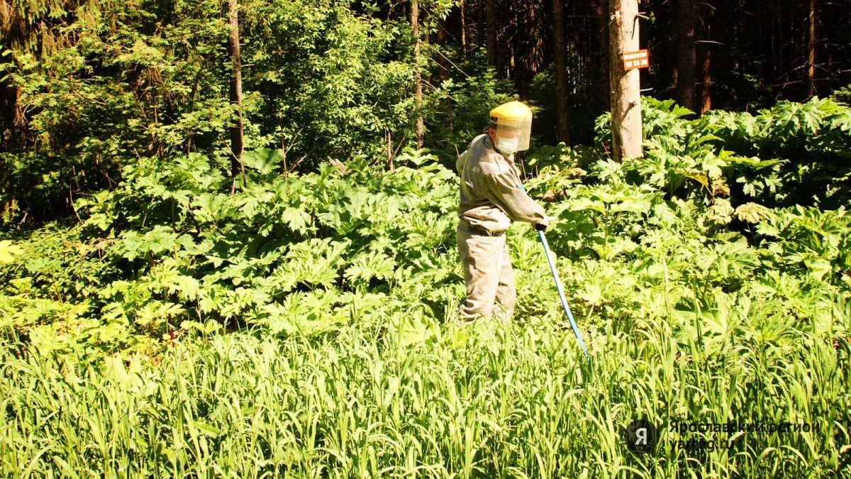 Районы Рыбинска обработают реагентами от борщевика