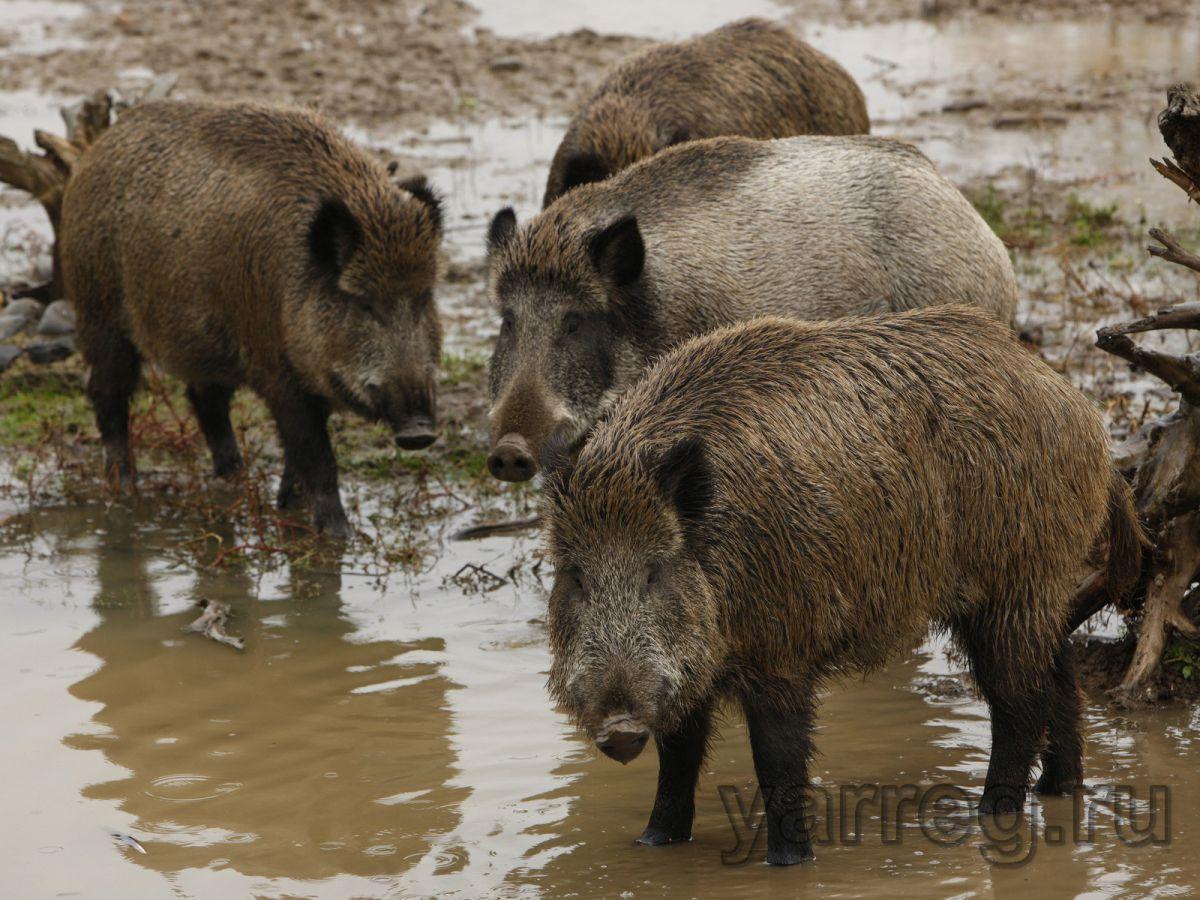 В Рыбинске выявили нарушения при реализации свинины