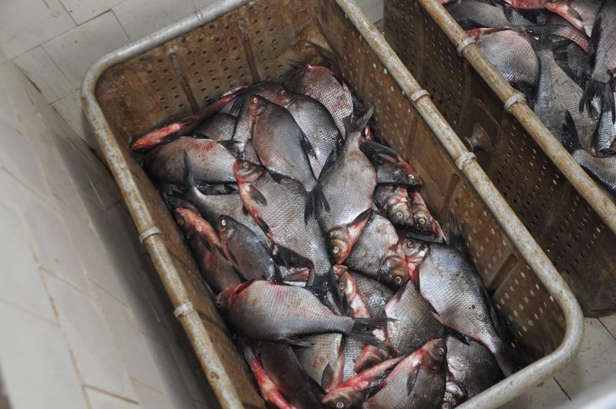 В Ярославской области будут разводить сиговых рыб