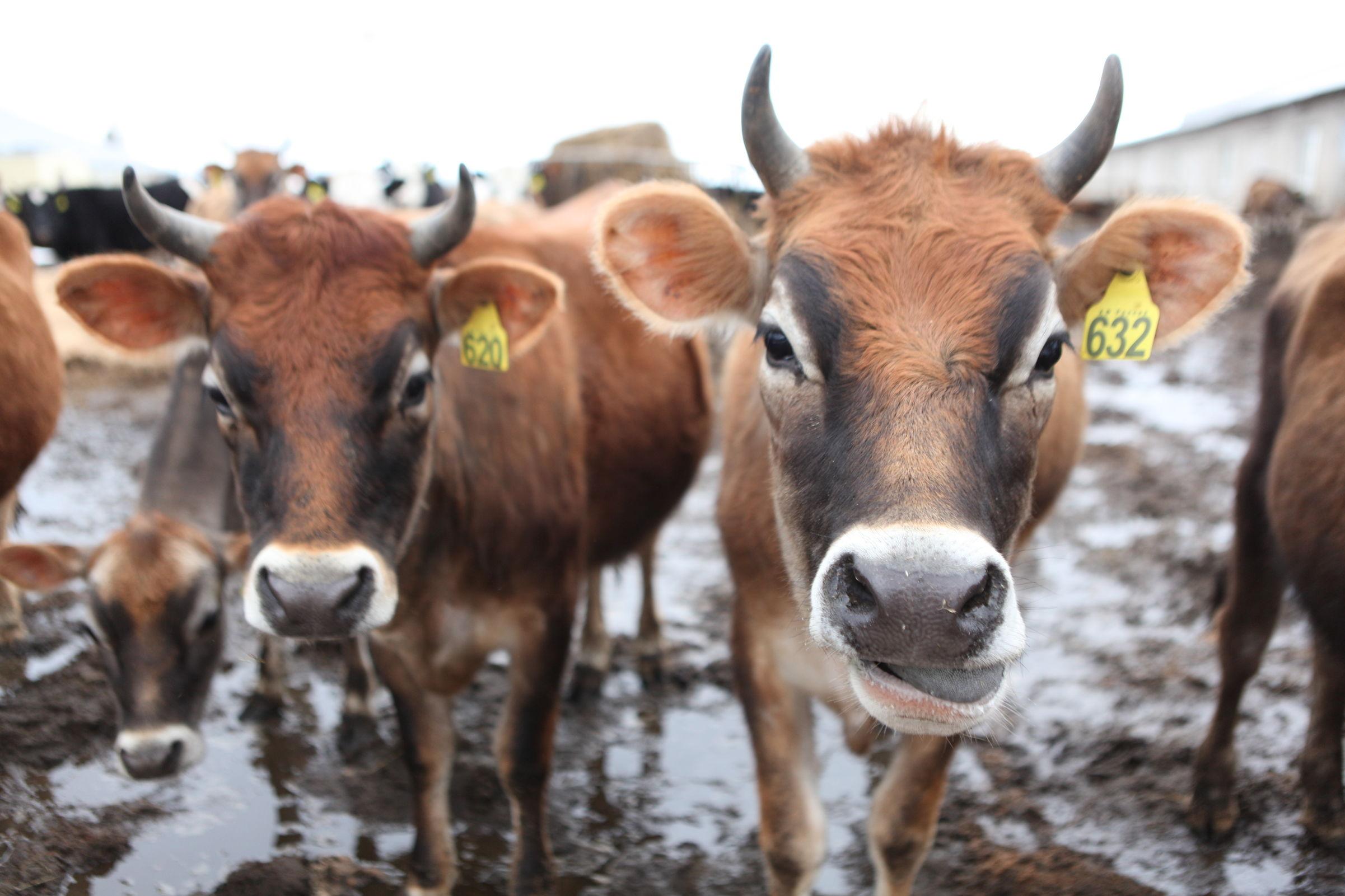 Завод «Красный маяк» увеличил объемы производства молока на 3 тысячи литров в сутки
